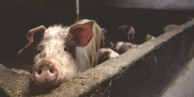 Upskill pig industry with the AHDB Developing Pig Expertise Programme